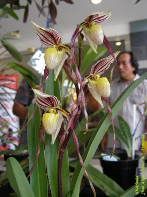 Paphiopedilum philippinense